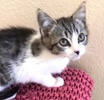 A picture of #ET03915: Puddle a Domestic Medium Hair white/tabby