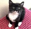 [picture of Peppercorn, a Domestic Medium Hair black/white cat]