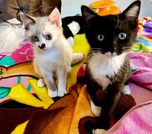 [picture of Peppercorn, a Domestic Medium Hair black/white\ cat]