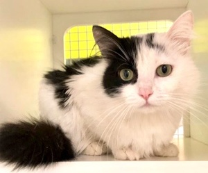 [another picture of Parice, a Domestic Long Hair white/black\ cat]