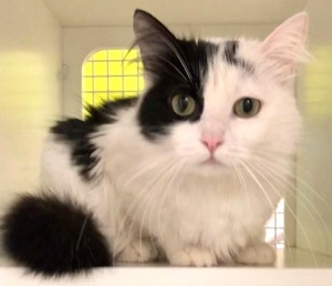 [picture of Parice, a Domestic Long Hair white/black\ cat]