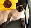 A picture of #ET03919: Lucky a Siamese seal point