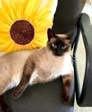 [picture of Lucky, a Siamese seal point\ cat]