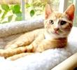 A picture of #ET03921: Bobble a Domestic Short Hair orange