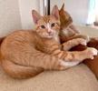 [picture of Bobble, a Domestic Short Hair orange cat]
