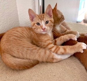[picture of Bobble, a Domestic Short Hair orange\ cat]