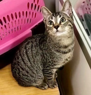 [another picture of Vidia, a Domestic Short Hair gray tabby\ cat]