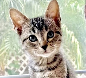 [picture of Vidia, a Domestic Short Hair gray tabby cat]