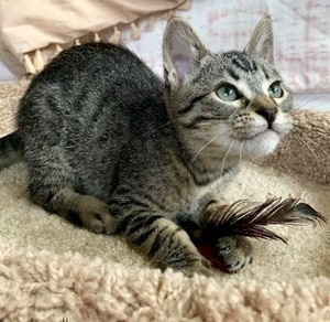 [picture of Vidia, a Domestic Short Hair gray tabby\ cat]