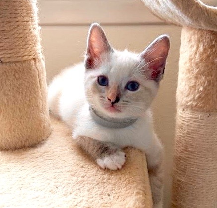[picture of Silvermist, a Siamese lynx point\ cat]