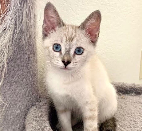 [picture of Rosetta, a Siamese lynx point\ cat]