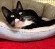 A picture of #ET03927: Princess Penny a Domestic Short Hair black/white