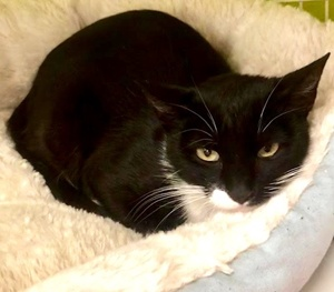 [picture of Princess Penny, a Domestic Short Hair black/white cat]