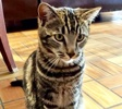 A picture of #ET03928: Louis a Domestic Short Hair gray marble tabby