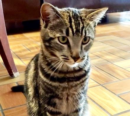 [picture of Louis, a Domestic Short Hair gray marble tabby\ cat]