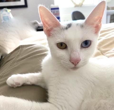 [picture of Jewel AKA Luna, a Turkish Van Mix white/black\ cat]