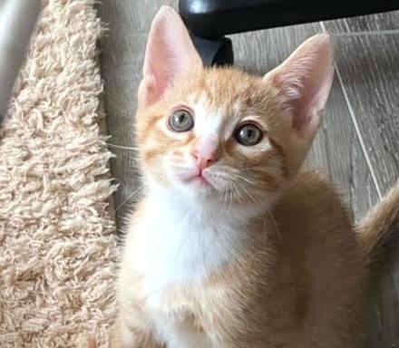 [picture of Tigger, a Domestic Short Hair orange\ cat]