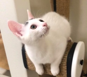 [another picture of Winnie, a Turkish Van Mix white/calico pt\ cat]