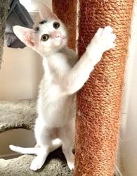 [picture of Winnie, a Turkish Van Mix white/calico pt cat]