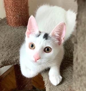 [picture of Winnie, a Turkish Van Mix white/calico pt\ cat]