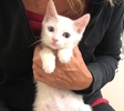 A picture of #ET03932: Pooh a Turkish Van Mix white