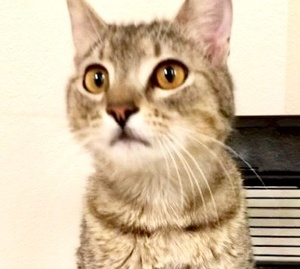 [picture of Oliver, a Domestic Short Hair gray tabby\ cat]