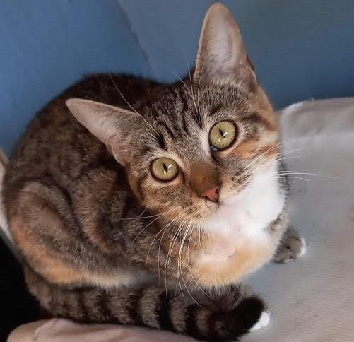 [picture of Zophia, a Domestic Short Hair tabby/white\ cat]
