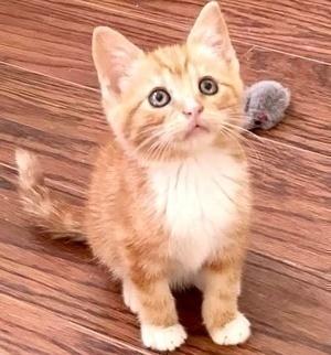 [picture of Chili, a Domestic Medium Hair orange/white\ cat]