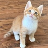 A picture of #ET03936: Amber a Domestic Medium Hair orange/white