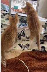 [picture of Amber, a Domestic Medium Hair orange/white cat]