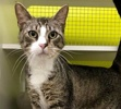 A picture of #ET03937: Wallabee a Domestic Short Hair brown tabby/white