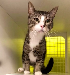 [picture of Wallabee, a Domestic Short Hair brown tabby/white\ cat]