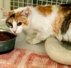 A picture of #ET03938: Clover a Domestic Short Hair calico