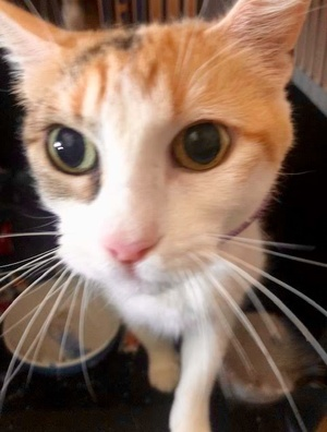 [picture of Clover, a Domestic Short Hair calico cat]