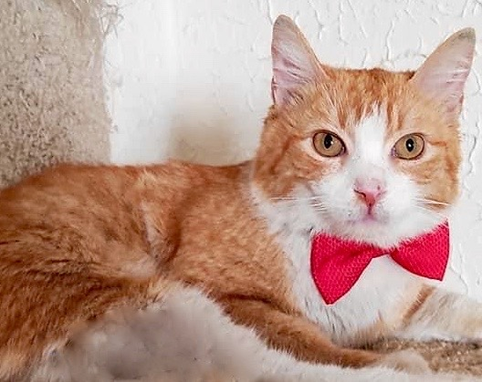 [picture of OilverTwist, a Domestic Medium Hair orange/white\ cat]