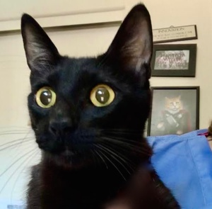 [picture of Mist, a Domestic Short Hair black\ cat]