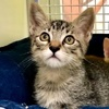 A picture of #ET03941: Eddie a Domestic Short Hair gray tabby