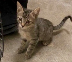 [another picture of Eddie, a Domestic Short Hair gray tabby\ cat]