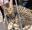 A picture of #ET03942: Charlie a Domestic Short Hair gray tabby