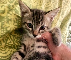 [picture of Charlie, a Domestic Short Hair gray tabby cat]