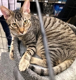 [picture of Charlie, a Domestic Short Hair gray tabby\ cat]