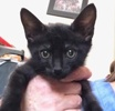 A picture of #ET03943: Marty a Domestic Short Hair black