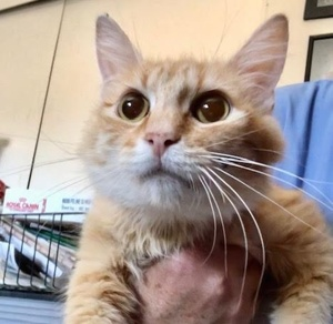 [picture of Dutchess, a Ragdoll Mix orange cat]