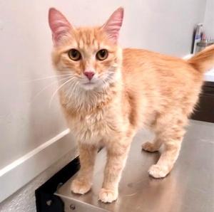 [picture of Dutchess, a Ragdoll Mix orange\ cat]