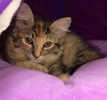 A picture of #ET03945: Nala a Ragdoll Mix tortie/tabby