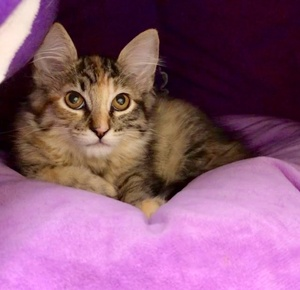[picture of Nala, a Ragdoll Mix tortie/tabby cat]