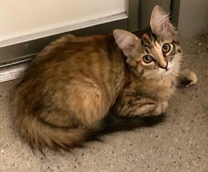 [picture of Nala, a Ragdoll Mix tortie/tabby\ cat]