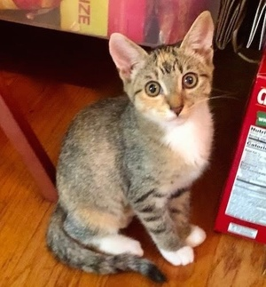 [another picture of Sprinkles, a Domestic Short Hair calico\ cat]