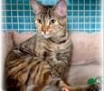A picture of #ET03947: Bella Lu a Domestic Short Hair tortie/tabby