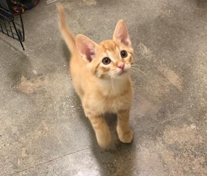 [another picture of Bear Cub, a Domestic Short Hair orange\ cat]